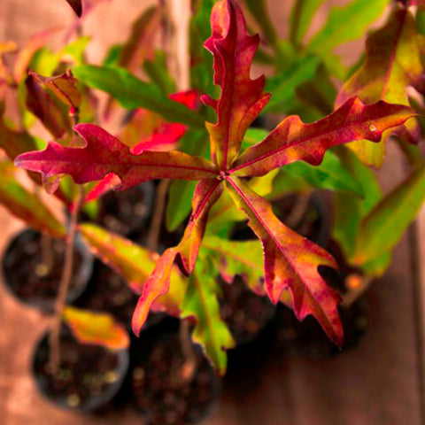 Sure-Fire Red Oak Hybrid (Quercus palustris x nigra)