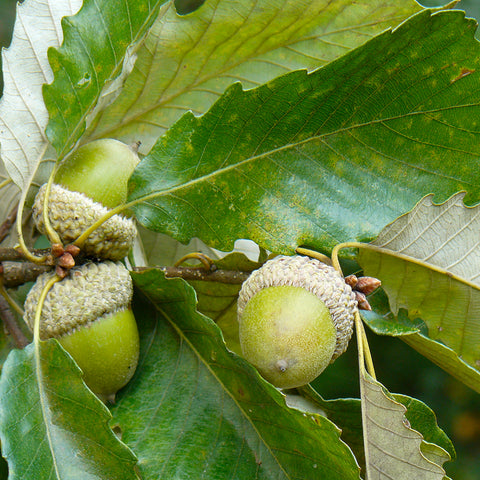 Swamp Chestnut Oak (Quercus michauxii)