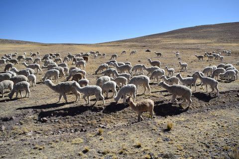 49ed1dd0aca4cf The alpaca is a relative of the llama and is domestically raised in high  altitudes of the Andean Mountains in South America. For thousands of years,  alpacas ...