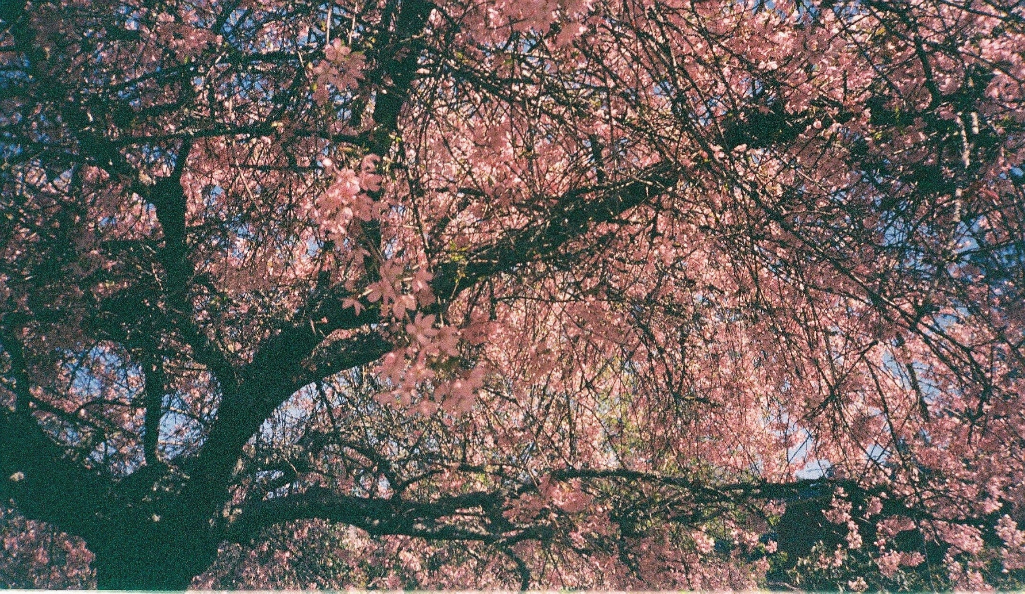 Photo of pink tree taken on expired Konica APS colour film