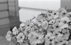 sample shot of flowers on Silberra Ultima 200 B&W film 35