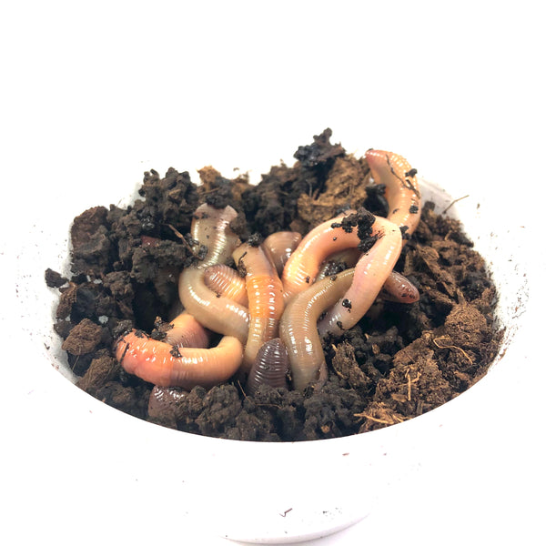 Dew Worms (One Dozen)