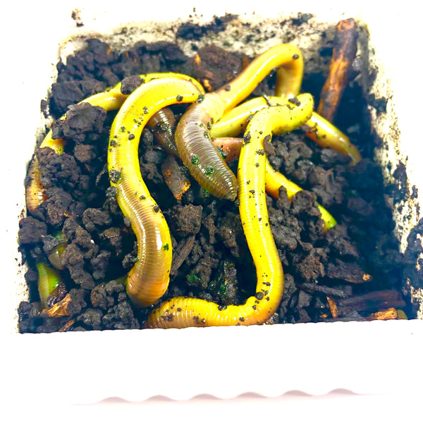 Green Worms (1 Dozen)