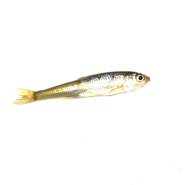 Small Creek Minnows (1 Dozen)