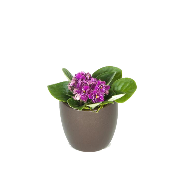 African Violet (2 Inch)