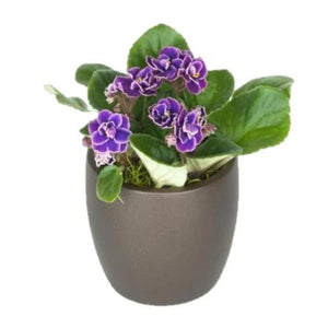 African Violet (4 Inch)