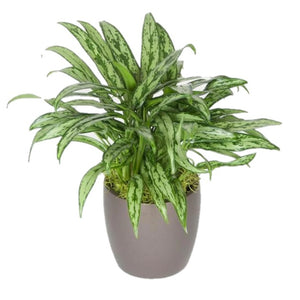 Aglaonema Cutlass (6 Inch)