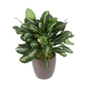 Aglaonema Key Largo (10 Inch)