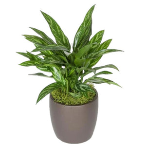 Aglaonema Tigress (10 Inch)