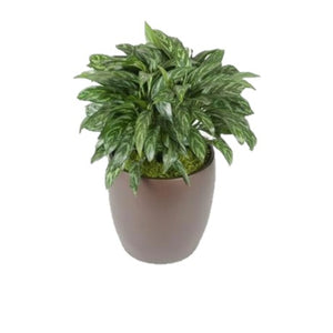 Aglaonema Tigress (6 Inch)