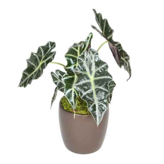 Alocasia African Mask (6 Inch)