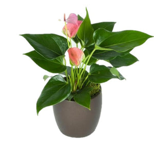 Anthurium Assorted Colors (4 Inch)