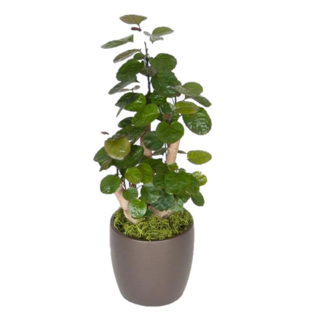Aralia Fabian Stump (6 Inch)