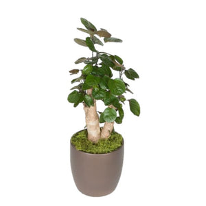 Aralia Fabian Stump (8 Inch)