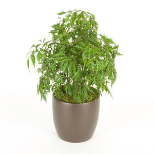Aralia Ming Stump (8 Inch)