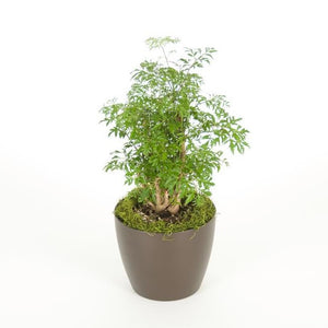 Aralia Ming Stump (6 Inch)