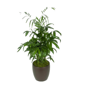 Bamboo Palm (10 Inch)
