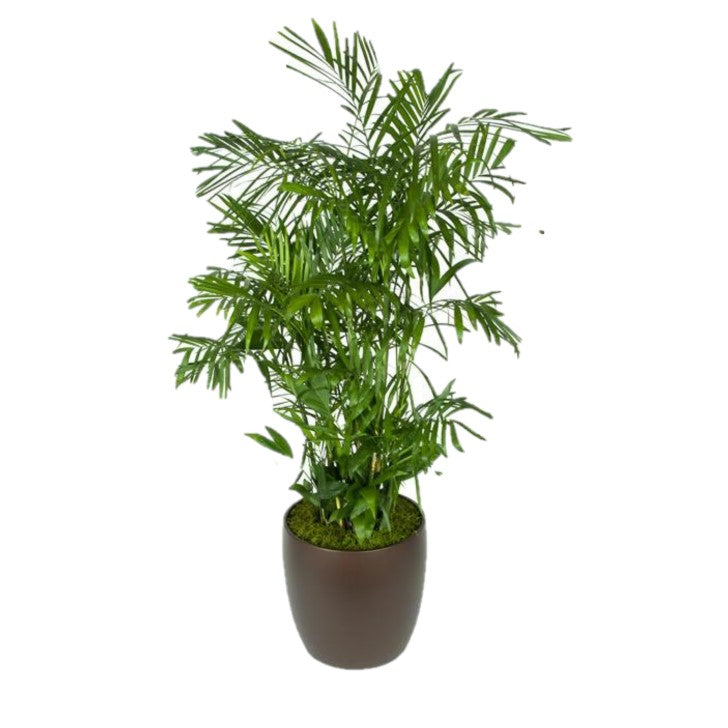 Bamboo Palm (14 Inch)