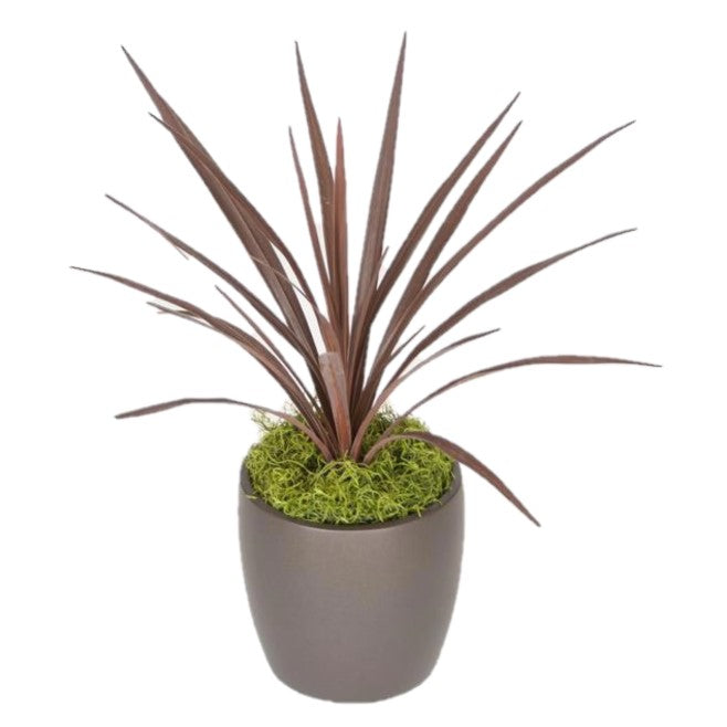 Cordyline Red-Star (6 Inch)