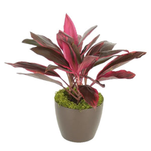 Cordyline Red Sister (6 Inch)