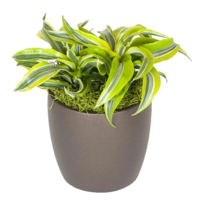 Dracaena Lemon Surprise (6 Inch)
