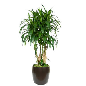 Dracaena Lisa Stump (14 Inch)