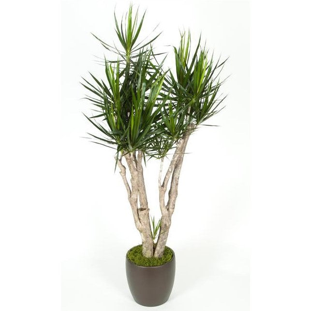 Dracaena Marginata Stump (12 Inch)