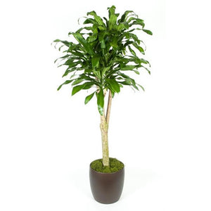 Dracaena Massangeana Stump (14 Inch)