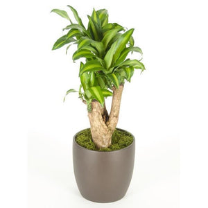 Dracaena Massangeana Stump (8 Inch)