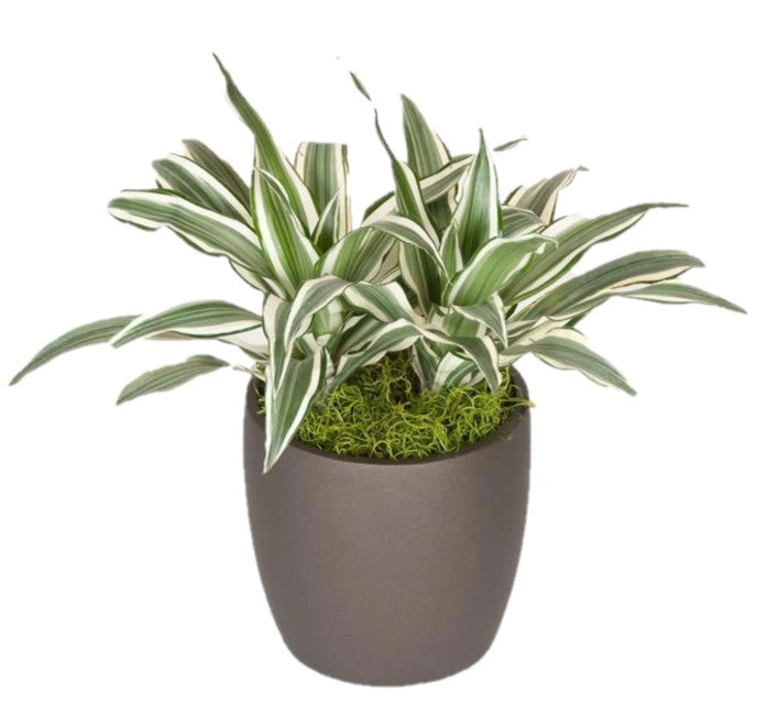 Dracaena Warneckii White Bird  (6 Inch)
