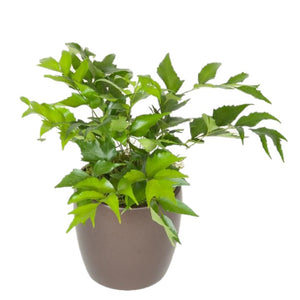 Ferns Holly (6 Inch)