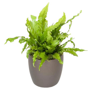 Ferns Japanese Birds Nest (6 Inch)
