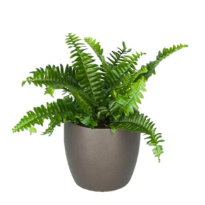 Ferns Jesters Crown  (4 Inch)