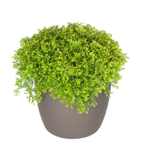 Ferns Moss Green (6 Inch)