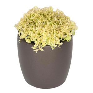 Ferns Moss Yellow (6 Inch)