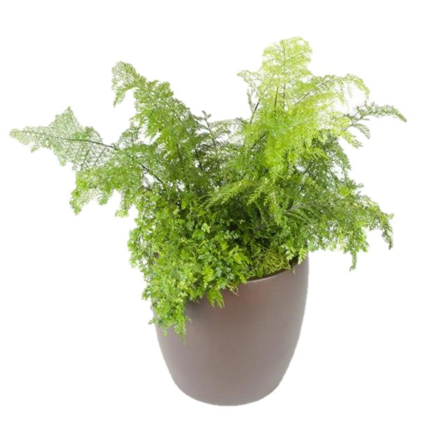 Ferns Mother (10 Inch)