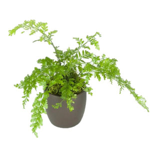 Ferns Mother  (4 Inch)