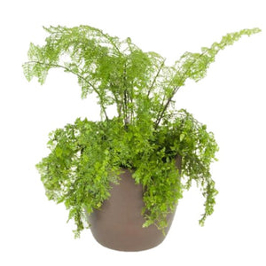 Ferns Mother  (8 Inch)