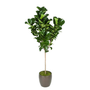 Ficus Lyrata Little Fiddle Standard (12 Inch)