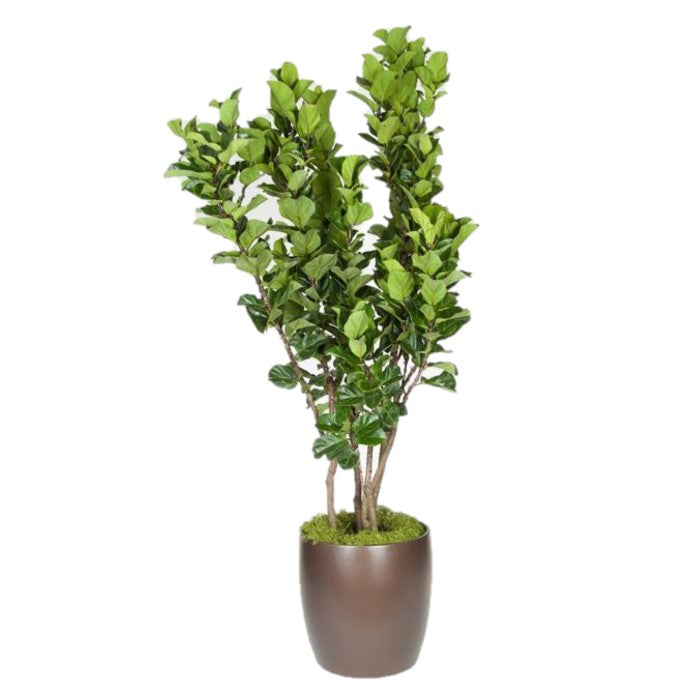 Ficus Lyrata Little Fiddle Column (14 Inch)