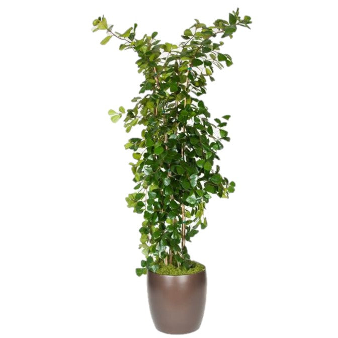 Ficus Triangularis (14 Inch)