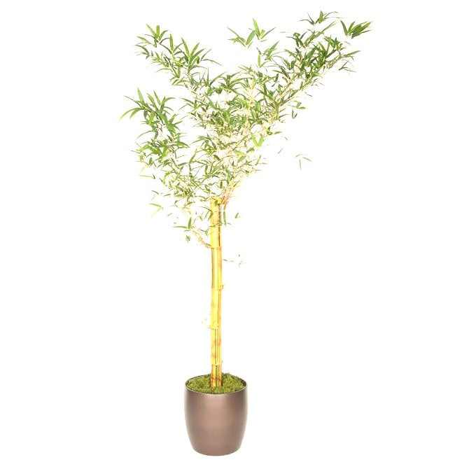 Bamboo Giant Timber  (14 Inch)