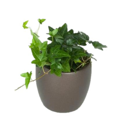 Hedera Ivy Green (4 Inch)