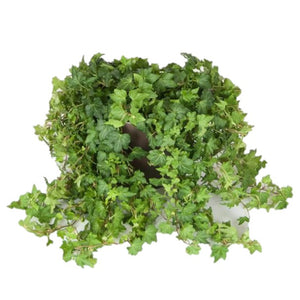 Ivy Hedera Green  (6 Inch)
