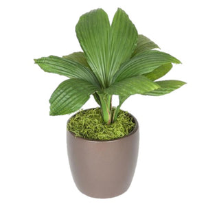Jungle Drum Cyclanthus (6 Inch)