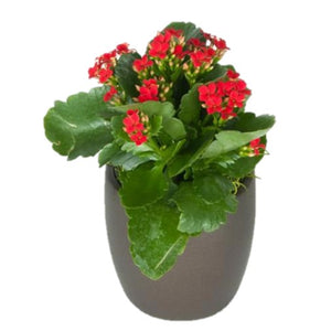 Kalanchoe Assorted Colors  (2 Inch)