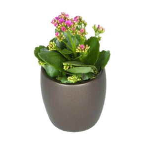 Kalanchoe Assorted Colors (4 Inch)
