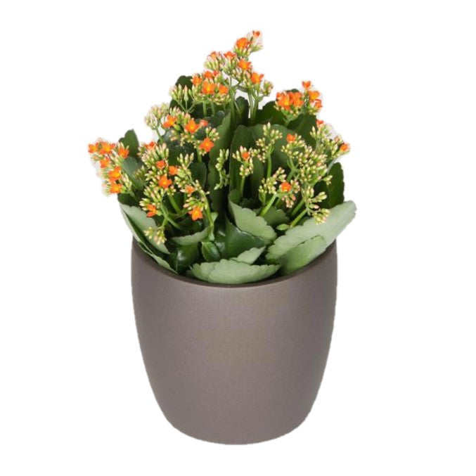 Kalanchoe Assorted Colors (6 Inch)