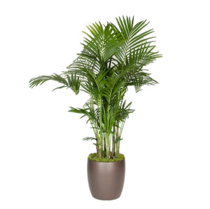 Kentia Palm, 5-6ppp (14 Inch)
