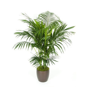 Kentia Palm (5 gal)